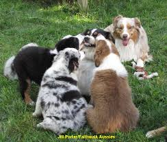 australian shepherd vocal faithwalk aussies socializing your aussie
