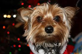cute dog christmas wallpapers merry christmas mackie pictures cuteimages net