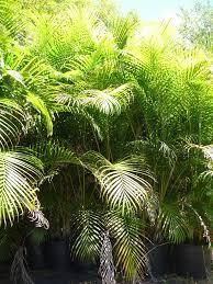 native hawaiian plants for sale areca palms for sale at kauai seascapes nursery