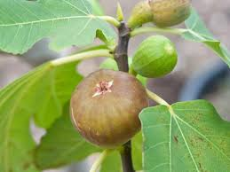 learn how to grow a fig tree hgtv