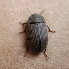 identifying soil beetle pests agriculture and food