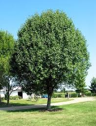 shade tree selections in tx ted s trees ltd
