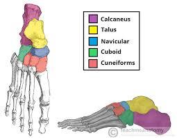 Anatomy Of The Calcaneus Bones Of The Foot Tarsals Metatarsals Phalanges Teachmeanatomy