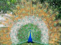 desktop hd peacock birds images