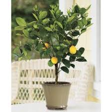 meyer lemon tree 2 3 year lemoncitrustree