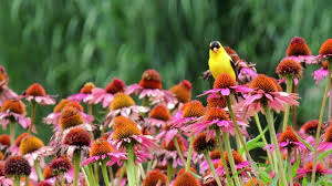 native plant seeds for sale texas and oklahoma wildflower seed mix american meadows