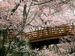 of china tree meiji cherry blossom tree a must this 2014