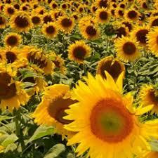 foto wallpaper bunga matahari wallpaper bunga matahari 6 00 unduh apk untuk android aptoide