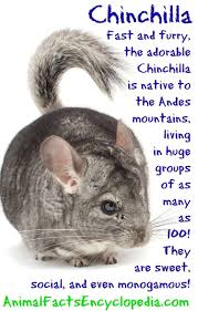 chinchilla facts animal facts encyclopedia