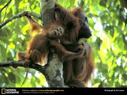 orangutan picture orangutan desktop wallpaper free wallpapers