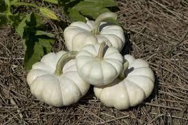 goose gourds in images peculiar pumpkins