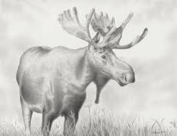 image drawing of a moose 44 in coloring pages of animals with