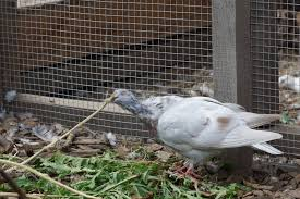 Caring For Backyard Chickens by Basic Pigeon Care Feeding And Housing Backyard Chickens