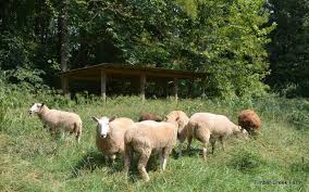 castrating pigs lambs and goat kids countryside