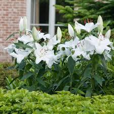 casablanca lilies casablanca longfield gardens