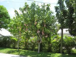 backyard garden with fruity mango tree growing mango trees in