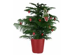 potted christmas tree how to care for your potted norfolk pine christmas tree