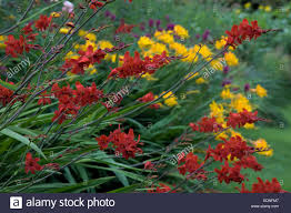 crocosmia u0027hellfire u0027 with crocosmia u0027paul u0027s best yellow u0027 stock