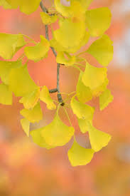 yellow fall foliage learn about trees with yellow fall leaves