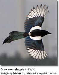 Magpie Birds In Backyards The Sri Lanka Blue Magpie Or Ceylon Magpie Urocissa Ornata Photo