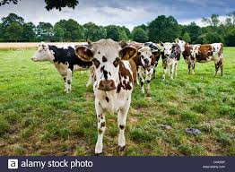 french cattle stock photos u0026 french cattle stock images alamy