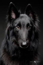 belgian sheepdog apartment groenendael lots of dogs pinterest posts