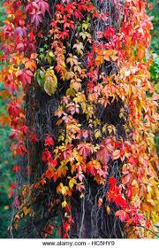 ornamental climbing plant stock photos ornamental climbing plant
