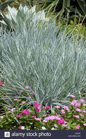 ornament stunning ornamental grasses houston grass random