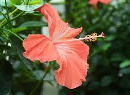 which state has a hibiscus couple detained at gunpoint after hibiscus mistaken for pot is