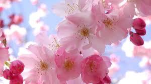 cherry blossom wallpaper 1920x1080 42427
