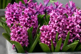 Hyacinth Flower Hyacinths Images Pink Hyacinths Hd Wallpaper And Background Photos