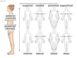 Planes And Anatomical Directions Worksheet Answers Anatomical Directions Medial Lateral Thebody As A Whole The Big
