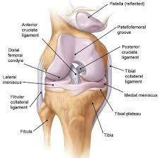 Knee Anatomy Pics Best 20 Knee Ligaments Ideas On Pinterest Knee Joint Anatomy