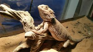 why bearded dragons are the best