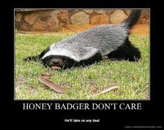 Meme Honey Badger - znalezione obrazy dla zapytania honey badger animals pinterest