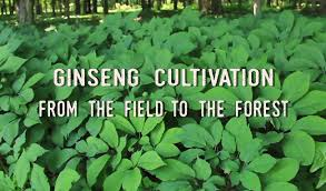 ginseng seeds and ginseng rootlets for sale stratified and ready