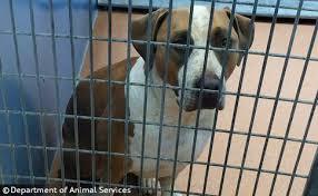 boxer dog kills man 2016 dog bite fatality pit bull rehomed by humane society kills