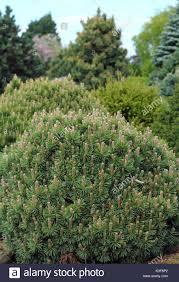 conifers garden stock photos conifers garden stock images alamy