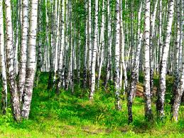 the russian birches 3000 x 2250 forest photography