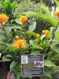 Tropical Plant Diseases - buy some ginger root at the grocery store and then plant in a pot