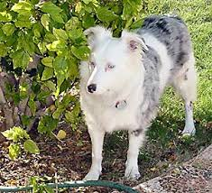 lifespan of australian shepherd lethal white double merle