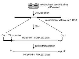 t7 ribomax express generation of 27kb in vitro transcripts in minutes
