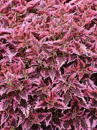 How To Grow Coleus Plants by Coleus Sun Loving With Edged Leaf