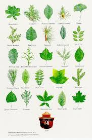 best 25 tree leaves ideas on tree leaf identification
