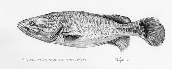 murray cod pencil drawing