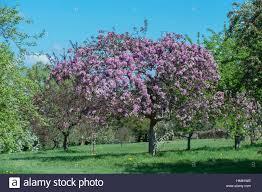 the beautiful flowering malus x micro malus crab apple tree
