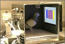 can mammogram reading pigeons help train human radiologists an