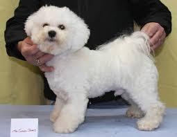 bichon frise dog pictures bichon frise haircuts click for full size image bichon frise