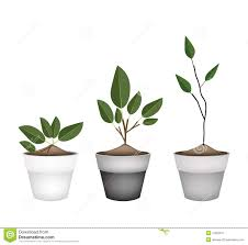 ornamental potted trees stock images image 22561054