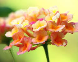Lime Green Flowers - lantana flower photograph yellow orange pink lime green mary